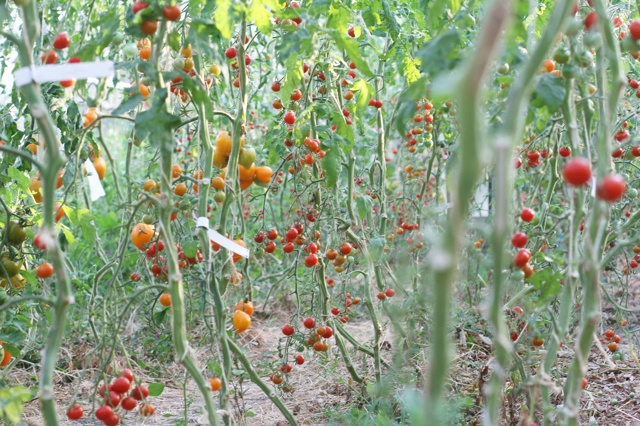 Tomatenretter - Verein braucht Gärtnerin