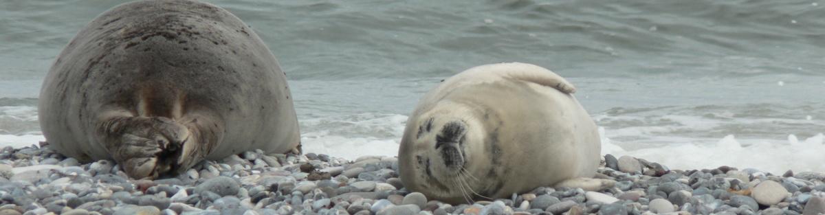 Robben mit Lungenparasiten