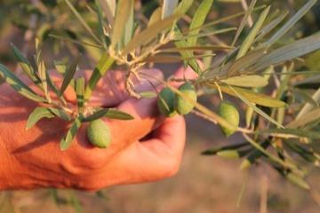 Adoptiere einen Olivenbaum/Öl direkt vom Erzeuger