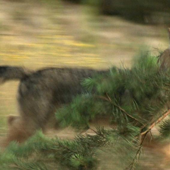 Ein freier wilder Wolf der Lausitz! Limitierte Auflage von bisher unveröffentlichten Aufnahmen. (Preis inkl. Rahmen und Versand)