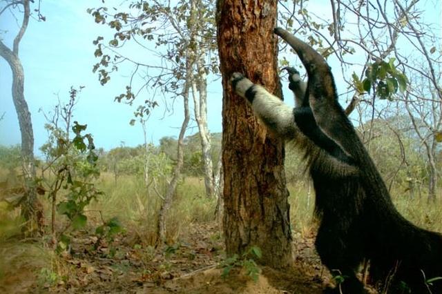 Ameisenbärenforschung in Brasilien