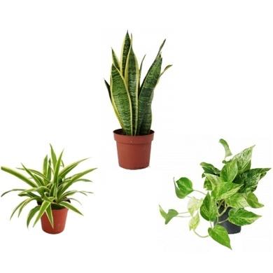Pflanzenpaket Schlafzimmer - FLORAFILT – Der biologische Luftreiniger