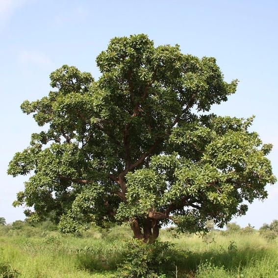 Pflanze einen Karitébaum in Uganda