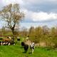 Kühe holen mit dem Quad