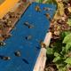 Patenschaft für eine Biene
