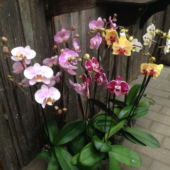 Phalaenopsis - Orchidee, 2-triebig