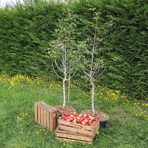 Dein eigener Apfelbaum im Garten