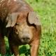 Fleisch vom Freilandschwein im Wert von 400€