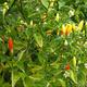 1x Dein handliches Gewächshaus mit Terra Preta Pflanzerde und eingesätem Gemüse!