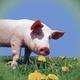 Das Frontschwein zeigt Schnauze in der Politik