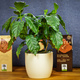 Kaffeepflanze (ca. 30cm)