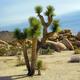 Pflanze deinen eigenen Baum - Set (Joshua Tree)