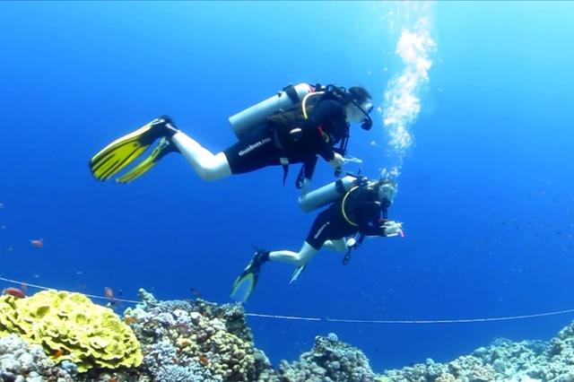 Drupella cornus - ein Winzling zerstört Korallenriffe