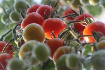 Tomatenretter Verein braucht Gärnerin
