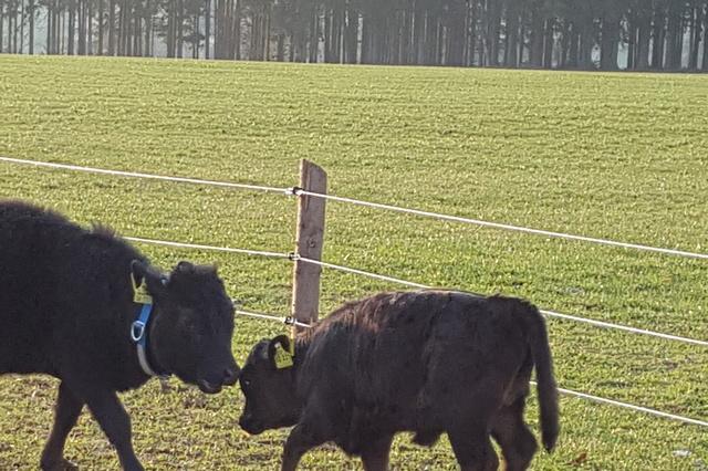 Mini-Kühe mit viel Hunger