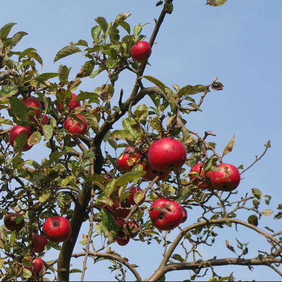 Werde Baumpate und pflanze einen Obstbaum im Paradies!