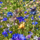 Blühwiesenpatenschaft für Bienen