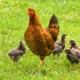 Übernimm ein Huhn