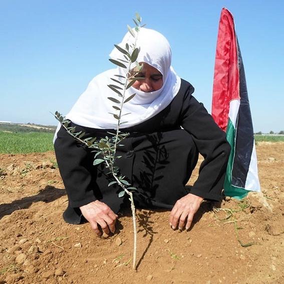 Lass einen Olivenbaum in Palästina wachsen!