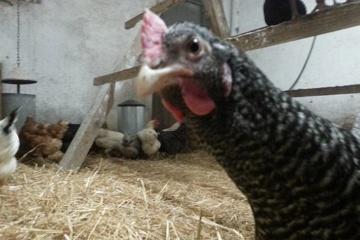 Artgerechter Hühnerstall mit viel Freilauf