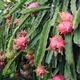 Drachenfrucht Baum in deinem Namen gepflanzt!