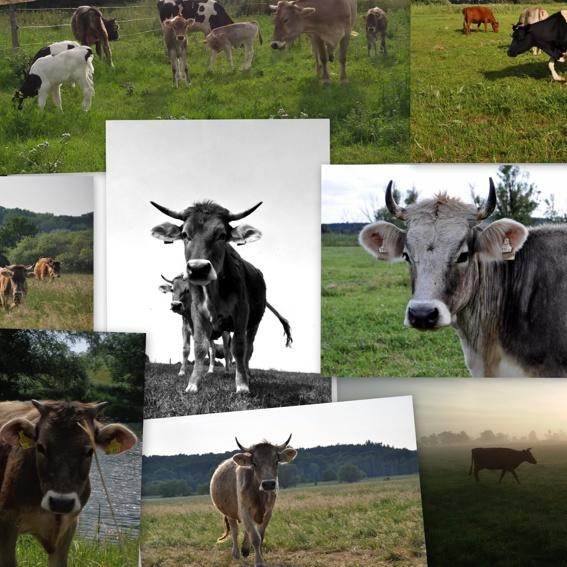 Schau schöne Kühe an