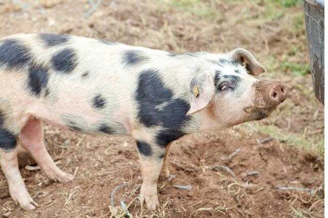 HEIMAT - Hof & Freilandschweine