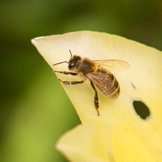 Adoptiere eine Biene - Adoptionsurkunde mit Wunschnamen