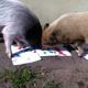 Malerei durch Schwein, Hund und Kuh
