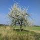Obstbaum-Patenschaft