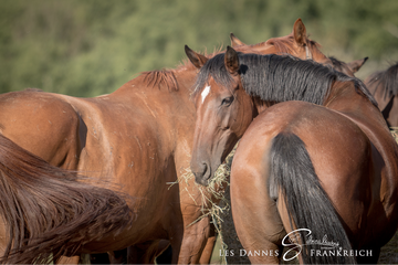 Horse youth in herds