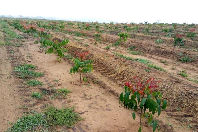 Nachhaltige Mahagoniplantage in Brasilien
