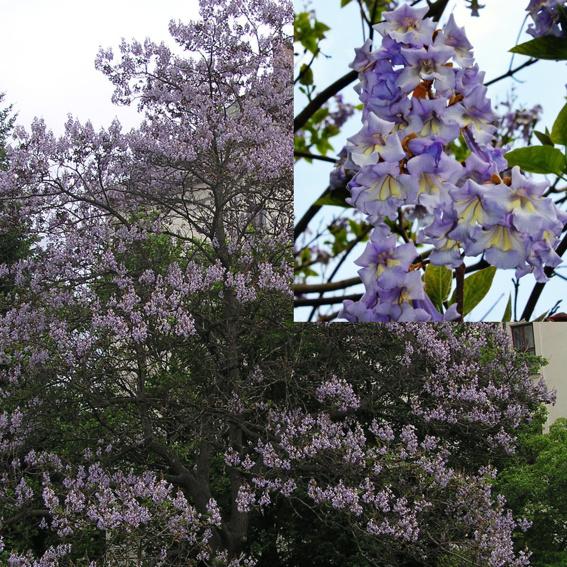 Blauglockenbaum, Paulownia