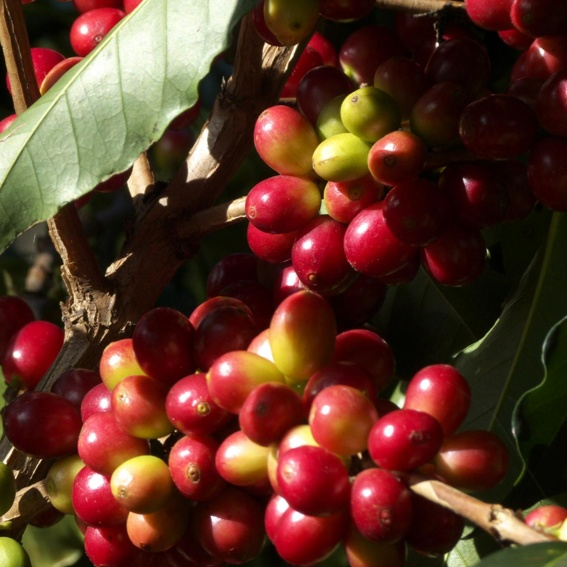 "5 Säcke á 70 kg Rohkaffee ""CAFÈ TEYUNA"" incl. MwSt. und Versand"