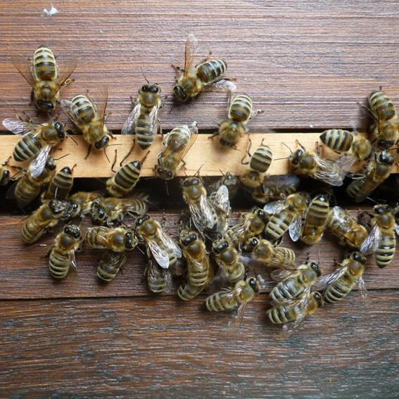 Ein eigenes Bienenvolk