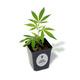 6-er Box Hanfpflanzen inkl. Versand (nur Österreich)